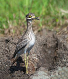 Pájaro en prado Foto de archivo