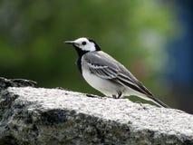Pájaro en roca Imágenes de archivo libres de regalías