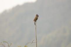 Pájaro en un polo, la India del Waxwing Imagenes de archivo