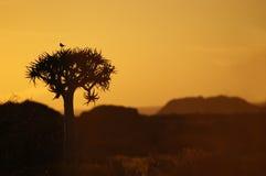 Pájaro en una puesta del sol del árbol de la aljaba Imagen de archivo libre de regalías