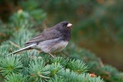Pájaro en una rama del pino Fotografía de archivo libre de regalías