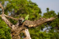 Pájaro en Yala Foto de archivo