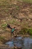 Pájaro en Yala Fotografía de archivo libre de regalías