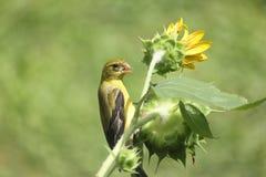 Pájaro encaramado en un girasol Foto de archivo