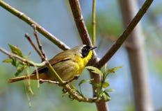 Pájaro enmascarado amarillo imagen de archivo libre de regalías