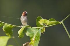 Pájaro escamoso-breasted del munia en Nepal Foto de archivo