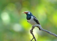 Pájaro (estornino de varios colores asiático), Tailandia Fotos de archivo