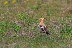 Pájaro eurasiático del Hoopoe Imagenes de archivo