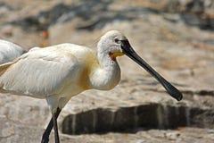 Pájaro eurasiático del Spoonbill imagenes de archivo