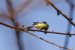 Pájaro eurasiático del tit azul que se sienta en la ramita desnuda el día soleado Imágenes de archivo libres de regalías