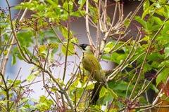 Pájaro europeo de la pulsación de corriente verde que se encarama en durin del árbol de la baya del saúco Imagen de archivo