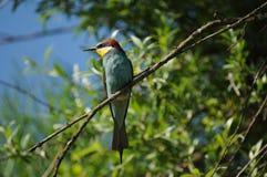 Pájaro europeo del Abeja-comedor (apiaster del Merops) Imágenes de archivo libres de regalías