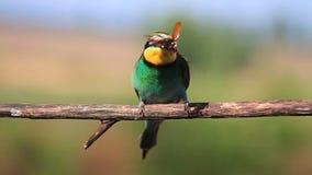 Pájaro exótico coloreado que come el escarabajo de mayo metrajes
