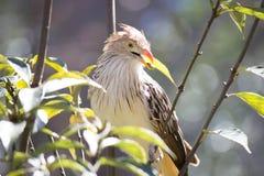 Pájaro exótico de Brown Imagenes de archivo