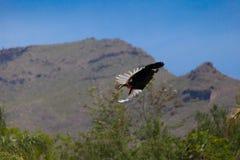 Pájaro exótico en vuelo Fotografía de archivo libre de regalías