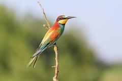 Pájaro excelente del color en una rama Fotografía de archivo