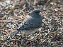 Pájaro Eyed oscuro del Junco foto de archivo