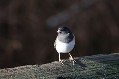 Pájaro Eyed oscuro del Junco imagen de archivo