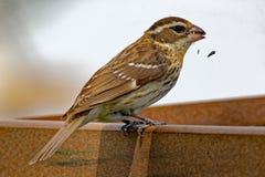 Pájaro femenino de Rose-Breasted en un alimentador Imagenes de archivo