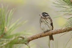 Pájaro femenino de Rose-breasted encaramado en una rama del pino Imagen de archivo