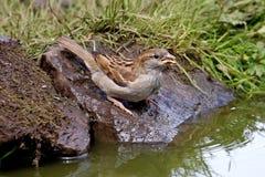 Pájaro femenino del gorrión de casa que se coloca en el agua Fotografía de archivo