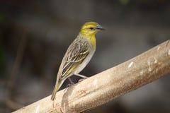 Pájaro femenino del tejedor del cabo Imagenes de archivo