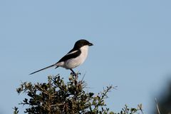 Pájaro fiscal de Shrike Imagen de archivo libre de regalías