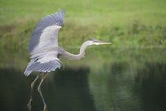 Pájaro - garza de gran azul Fotos de archivo libres de regalías
