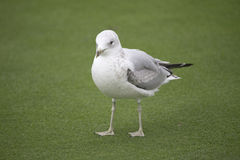 Pájaro - gaviota fotos de archivo libres de regalías