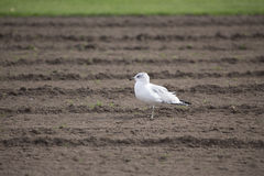 Pájaro - gaviota Fotografía de archivo
