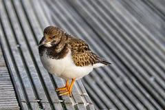Pájaro gordo en la playa Fotografía de archivo libre de regalías