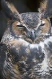 Pájaro - gran búho de cuernos Fotografía de archivo libre de regalías