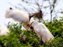 Pájaro, gran garceta blanca en el plumaje de la cría, la Florida Fotografía de archivo libre de regalías