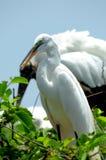 Pájaro, gran garceta blanca en plumaje de la cría Fotos de archivo libres de regalías