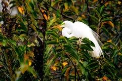 Pájaro, gran garceta blanca en plumaje de la cría en jerarquía Foto de archivo