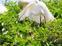 Pájaro, gran garceta en el plumaje de la cría, la Florida Imagen de archivo