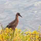 Pájaro grande del carril del ` s de Ridgway del marrón de la castaña que emerge fuera del vegetatoin Imagen de archivo