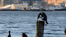 Pájaro grande del cormorán que se sienta en el embarcadero que limpia sus plumas con la ciudad del tromsoe almacen de metraje de vídeo