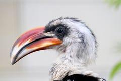 Pájaro grande del pico Foto de archivo