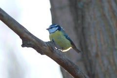Pájaro grande del tit que se sienta en la ramificación en bosque del resorte Fotografía de archivo