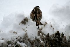 Pájaro Gray With Black Head Adornos de la primavera Fotografía de archivo libre de regalías