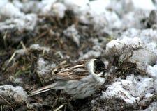 Pájaro Gray With Black Head Adornos de la primavera Imagen de archivo libre de regalías