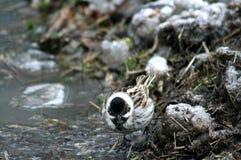 Pájaro Gray With Black Head Adornos de la primavera Fotografía de archivo