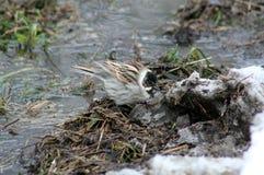 Pájaro Gray With Black Head Adornos de la primavera Foto de archivo libre de regalías