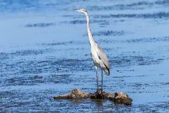 Pájaro Grey Heron Water Wildlife Imagen de archivo libre de regalías