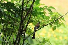 Pájaro, Grey Treepie Foto de archivo libre de regalías