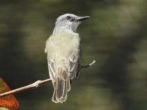 Pájaro gris, amarillo Costa Rica Foto de archivo