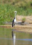 Pájaro gris de la garza Imagenes de archivo