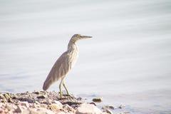 Pájaro gris de la garza al aire libre Imagen de archivo libre de regalías