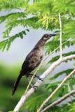 Pájaro gris que se sienta en la rama del acacia Foto de archivo